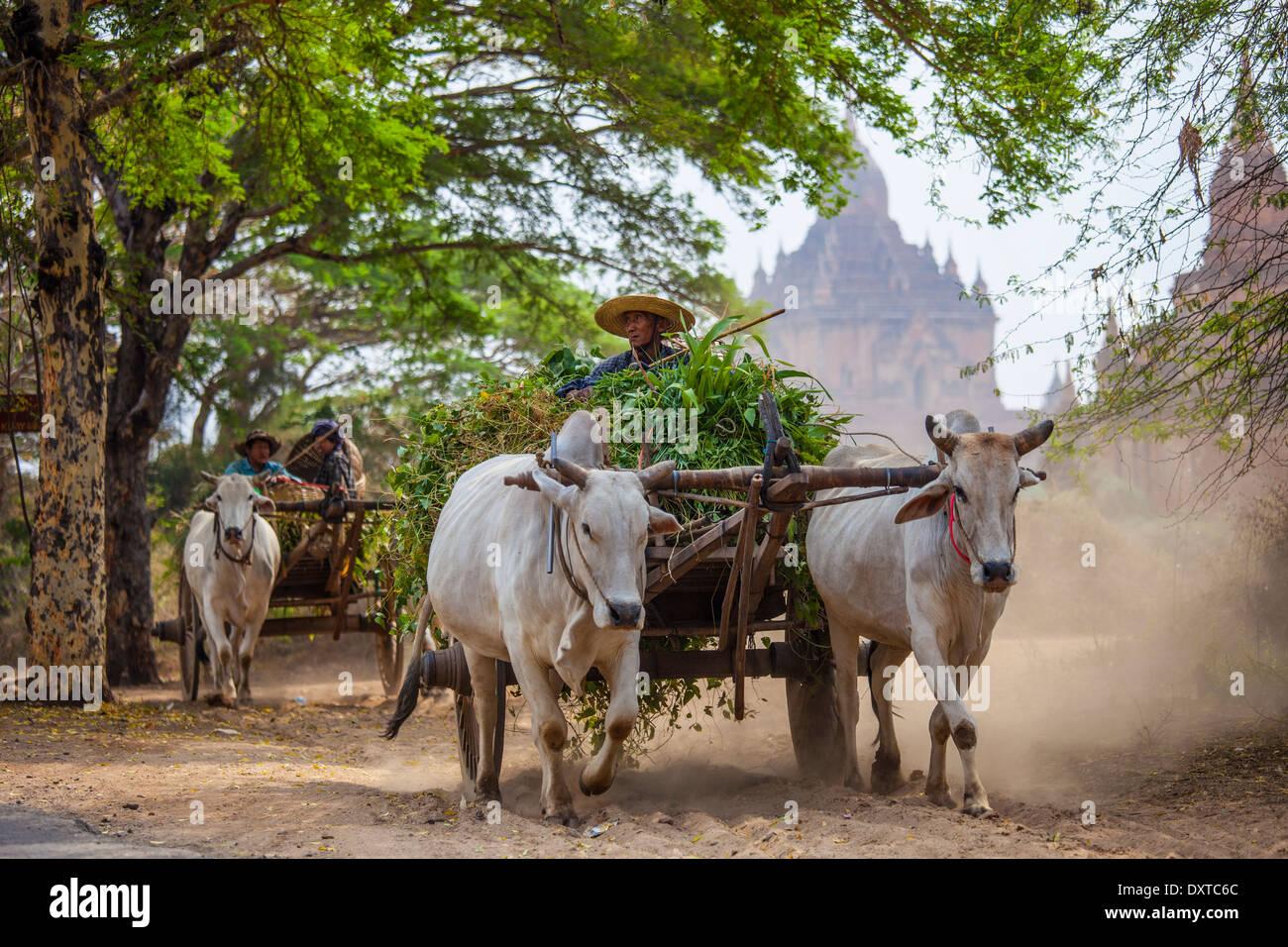 Ox cart hauling harvest in Bagan, Myanmar - Stock Image