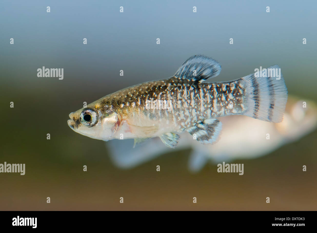 Male of Aphanius iberus, a mosquito larvivorous fish species presently endangered in the Mediterranean since the introduction of the American mosquitofish (Gambusia spp.) in early XXth century, which harms the autochtonous species. - Stock Image