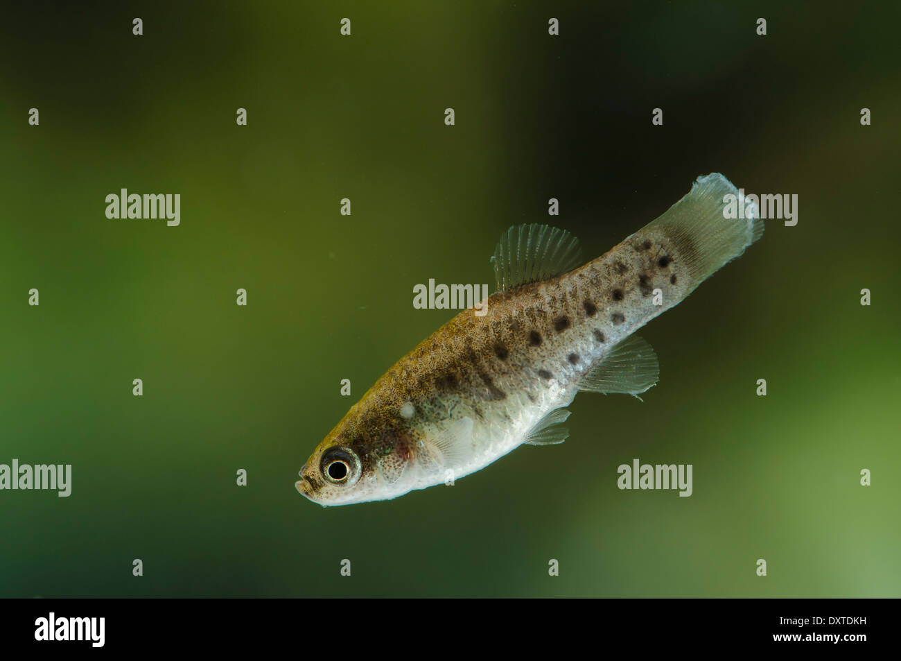 Female of Aphanius iberus, a mosquito larvivorous fish species presently endangered in the Mediterranean since the introduction of the American mosquitofish (Gambusia spp.) in early XXth century, which harms the autochtonous species. - Stock Image
