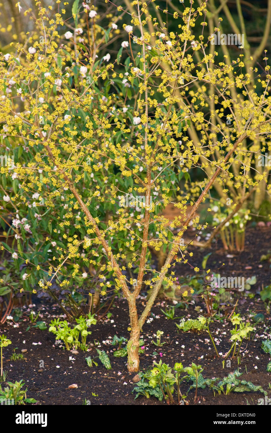 Cornus officinalis, Dogwood. Shrub, February. Portrait of entire plant in flower with small yellow blossom. - Stock Image