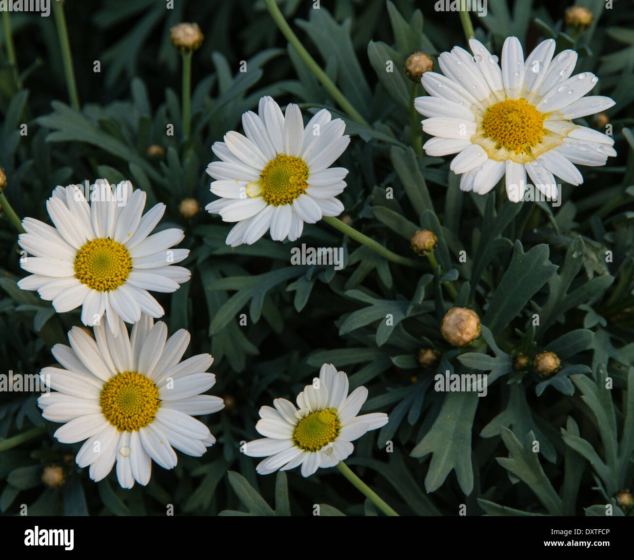 Background Of White Flowers And Daisies From The Florist For Sale Stock Photo Alamy