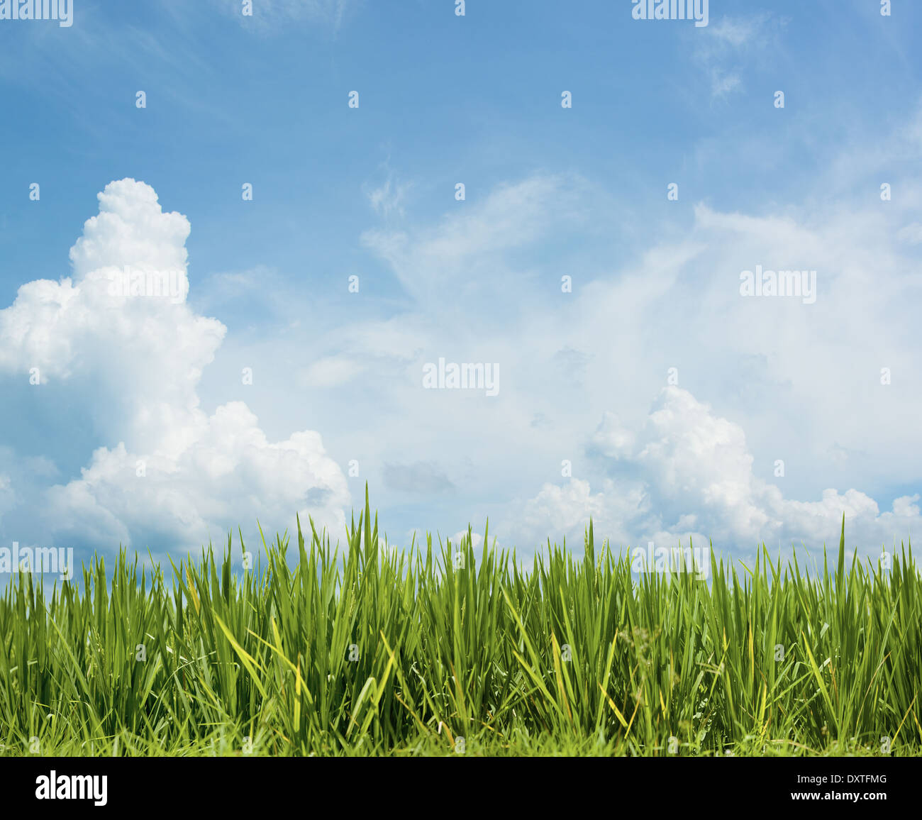 Grass under the beautiful sky. Rice field floral background - Stock Image