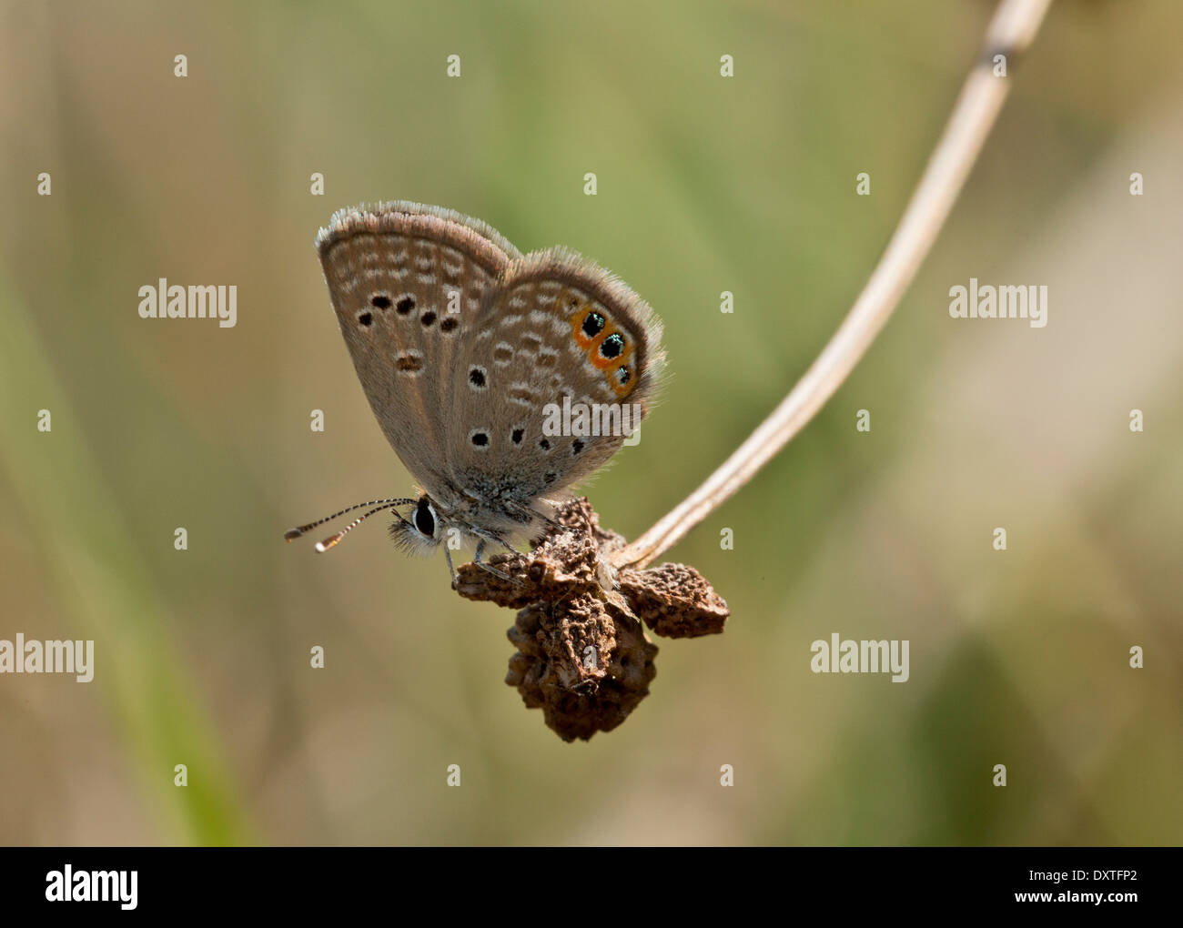 Grass Jewel butterfly Chilades trochylus in spring; Cyprus - Stock Image