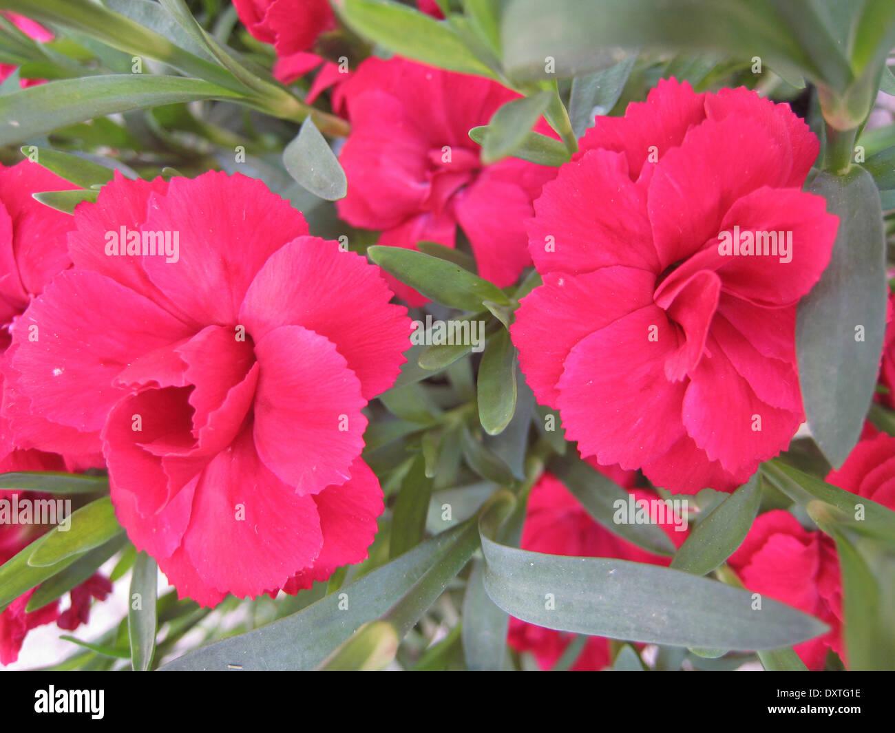 Red carnation (detail) - Stock Image
