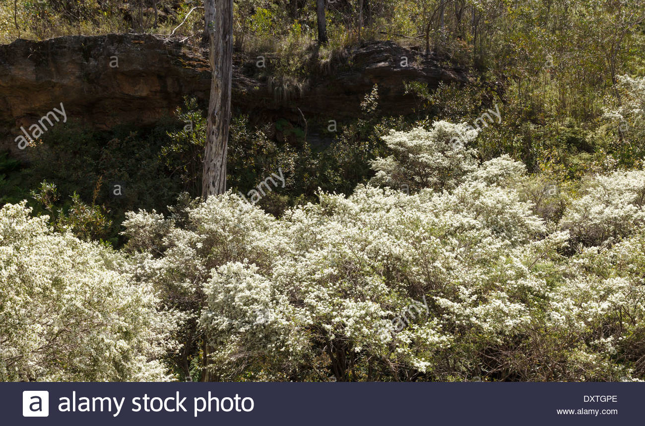 Blue flowering bush stock photos blue flowering bush stock images flowering bush blue mountain australia stock image izmirmasajfo