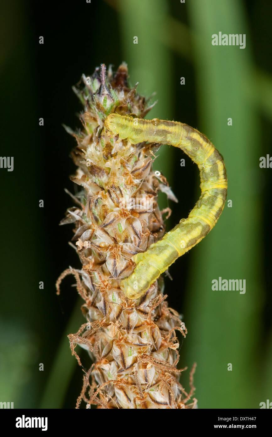 Wormwood Pug, pugs, Blütenspanner, Raupe, Eupithecia sp., Phalaena sp., Tephroclystia sp., Spanner, Geometridae, geometer moths - Stock Image