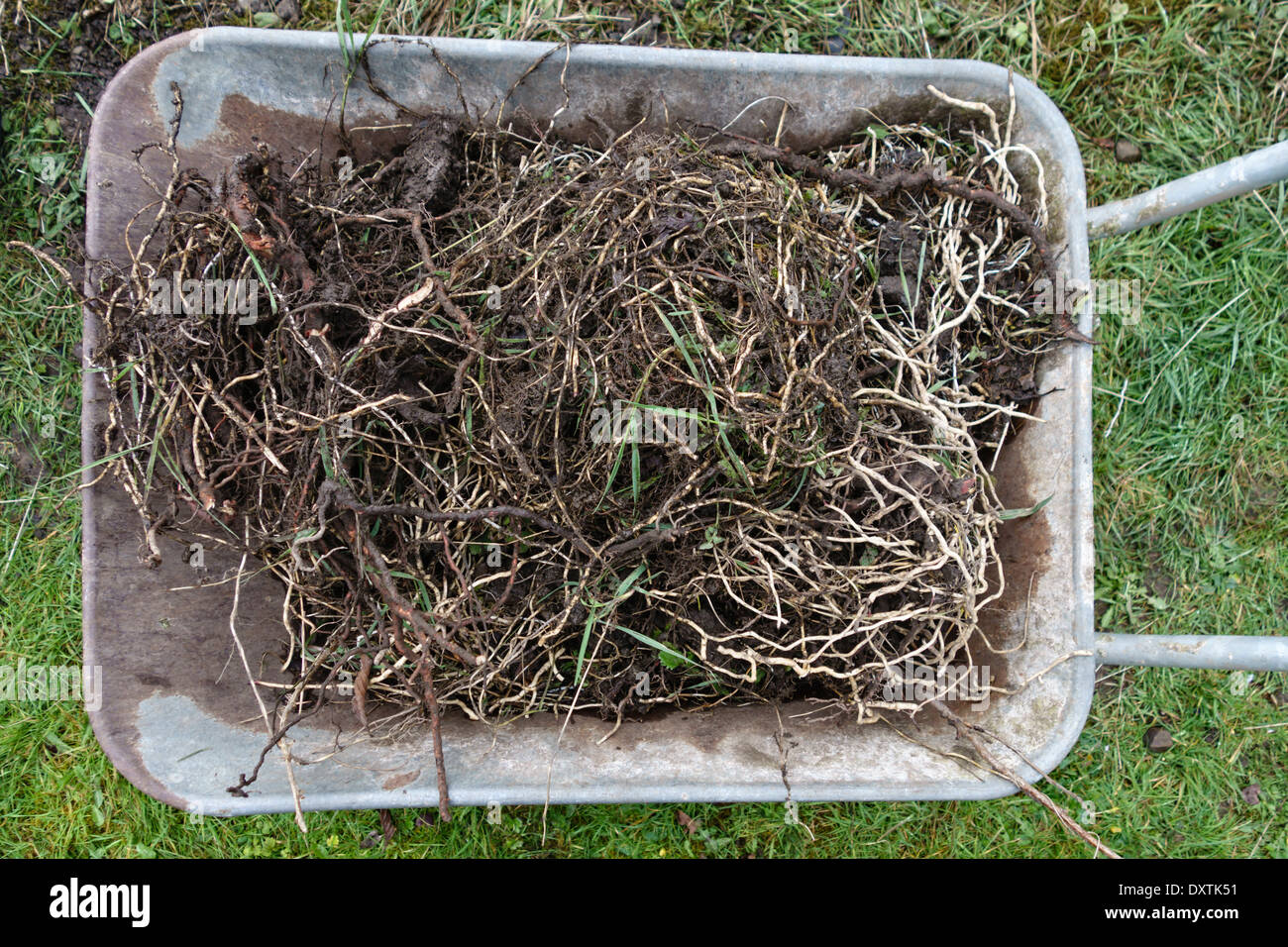A wheelbarrow full of field bindweed (Convolvulus arvensis) and twitch or couch grass (Elymus repens) dug out of a vegetable bed - Stock Image