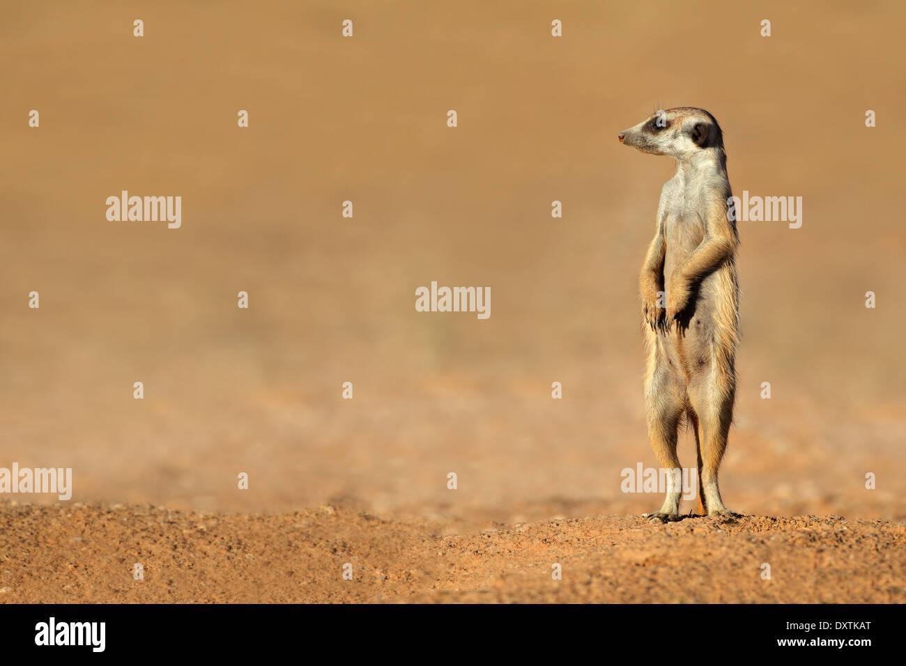 Alert meerkat (Suricata suricatta) standing on guard, Kalahari desert, South Africa - Stock Image