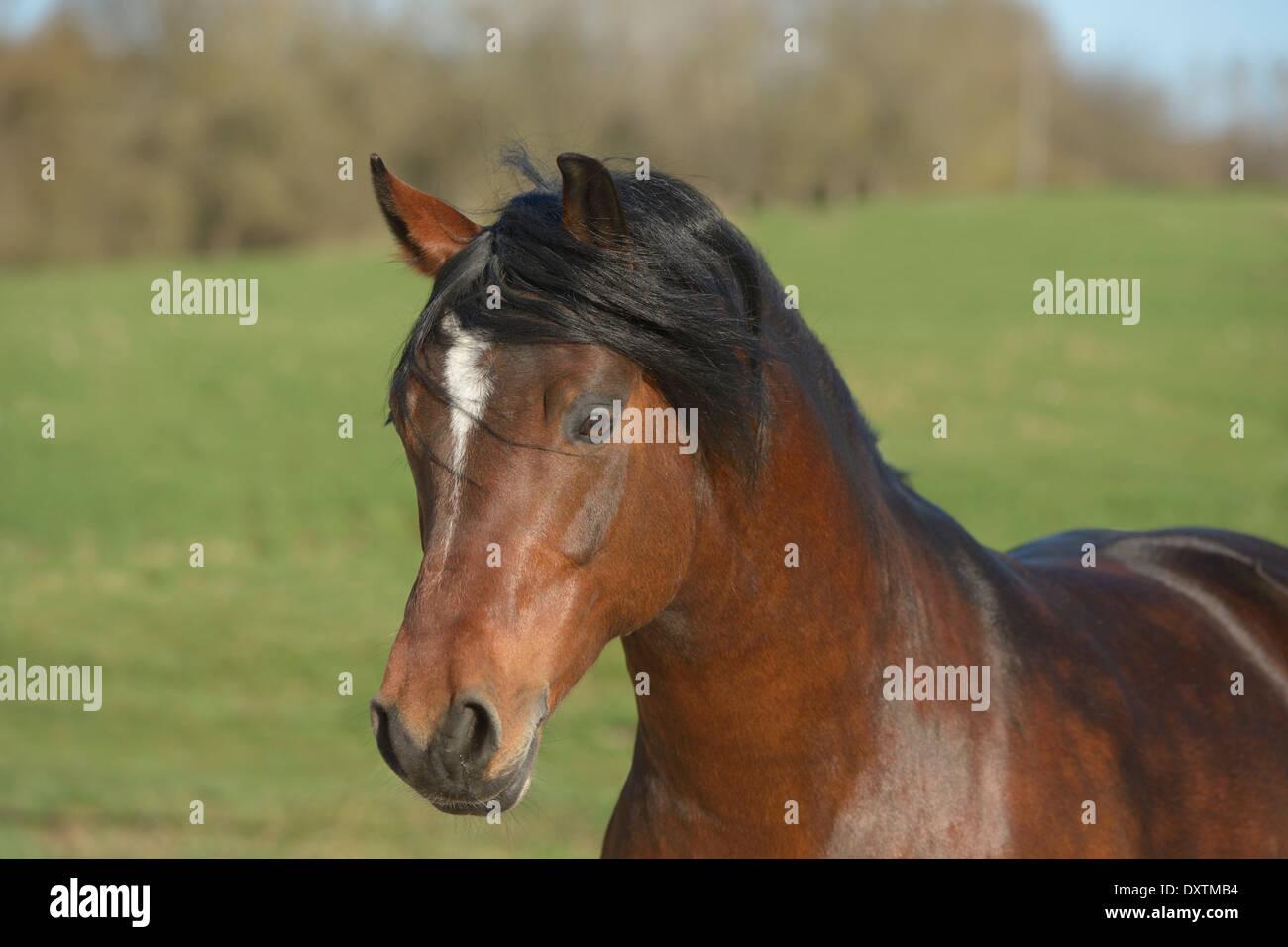 Connemara pony stallion 'Ardas Murphy' - Stock Image