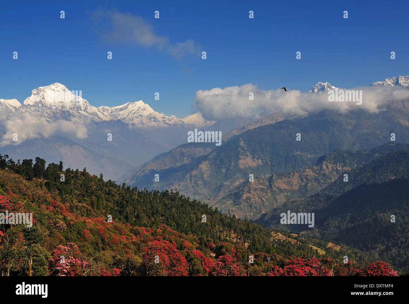 View of South Face of Dhaulagiri and Blooming Rhododendron trees, Annapurna Nepal - Stock Image