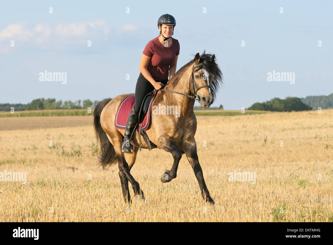 Galloping in a stubble field, 24 years old Connemara pony stallion, despite his age in very good condition - Stock Image
