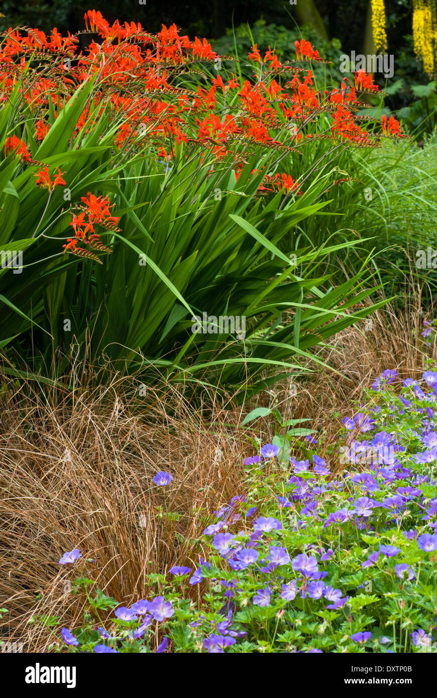 Crocosmia 'Lucifer', Montbretia and Carex comans bronze-leaved, Sedge with Geranium x Rozanne. Perennials. Association. Stock Photo