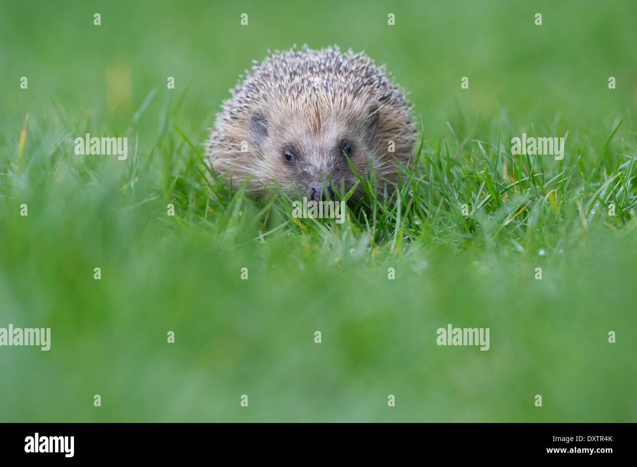European hedgehog (Erinaceus europaeus) - Stock Image