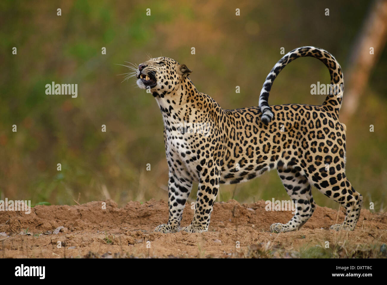 Male Indian leopard walking snarling at a pesky bee while on a vehicle track in Nagarahole National Park, India - Stock Image