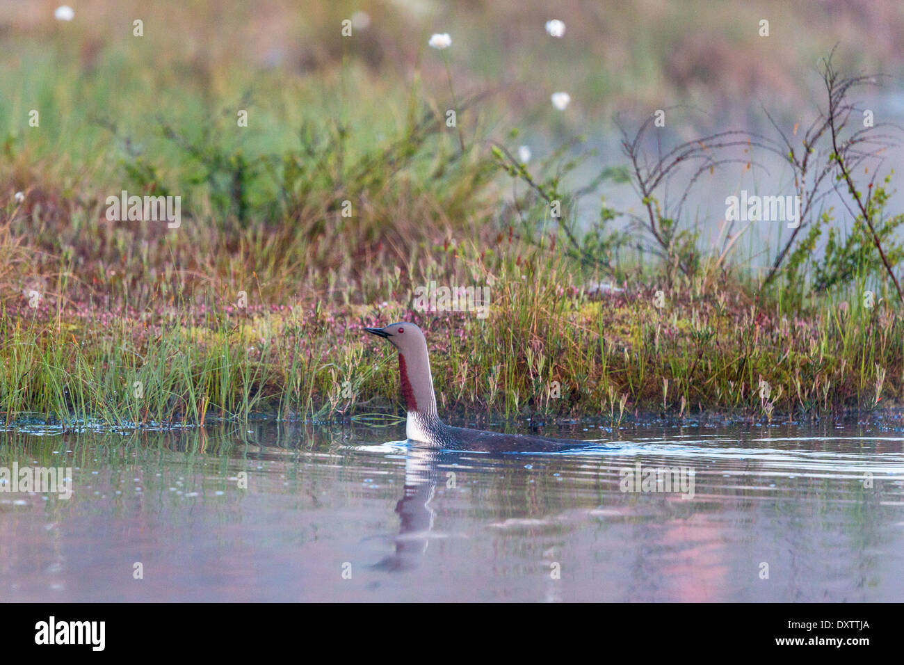 Red throated loon swimming at the water edge - Stock Image