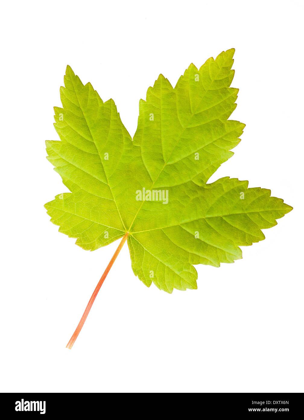 Green maple leaf isolated on white background - Stock Image