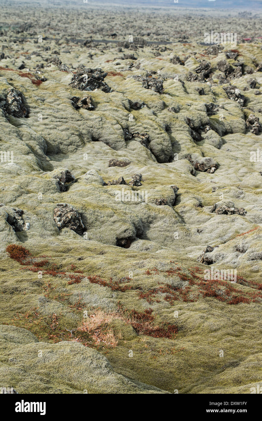 Mosses and lichens are the only vegetals that can colonize somewhat recent lava landscapes, iceland - Stock Image
