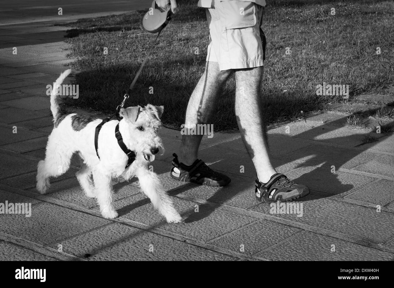 A happy fox terrier on a leash, walking with his master to the park - Stock Image