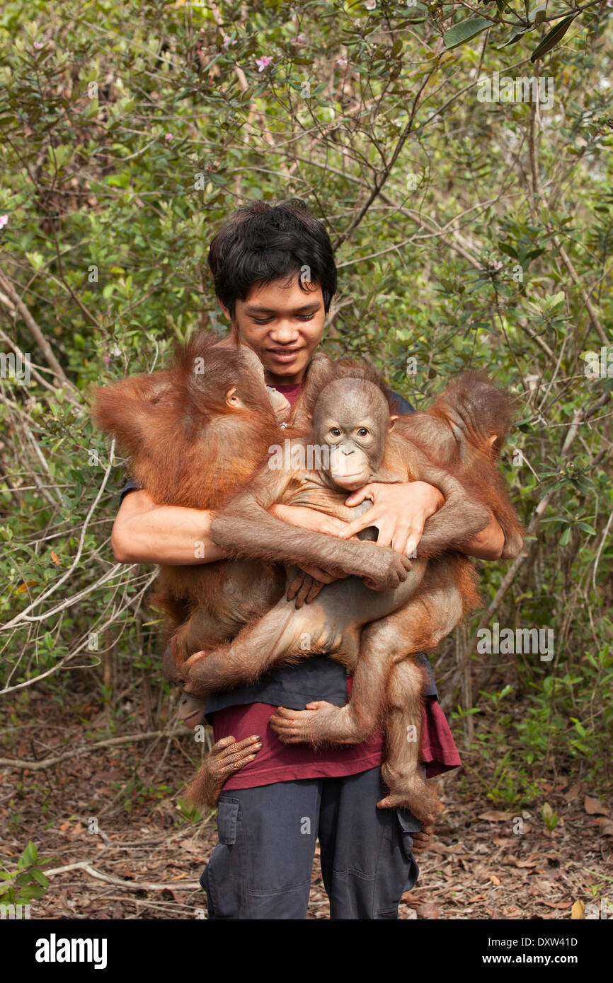Caretaker carrying two year old orphaned orangutans (Pongo pygmaeus) into the forest for play and experience to prepare for release into the wild - Stock Image
