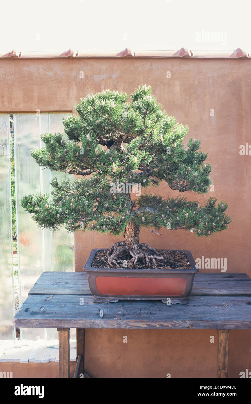 Pine bonsai in front of wall. Pinus nigra. - Stock Image