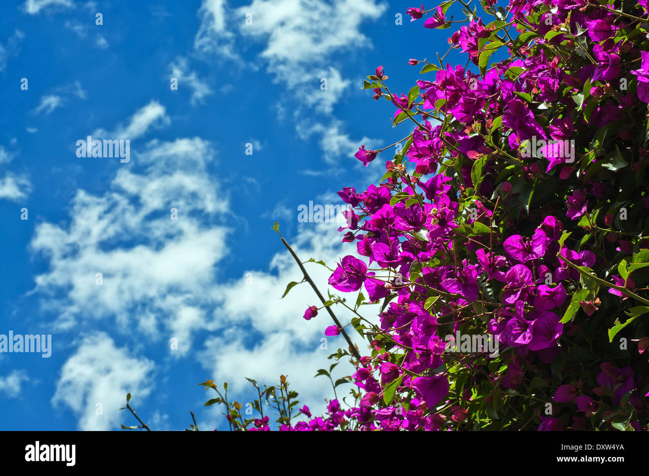 Beautiful purple Bougainvillea plant with blue sky - Stock Image