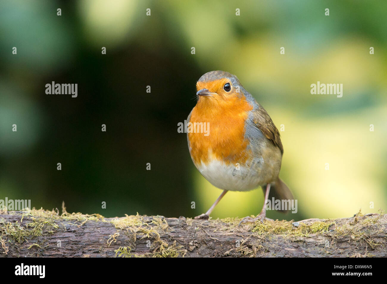 European Robin (Erithacus rubecula) standing on a mossy log - Stock Image