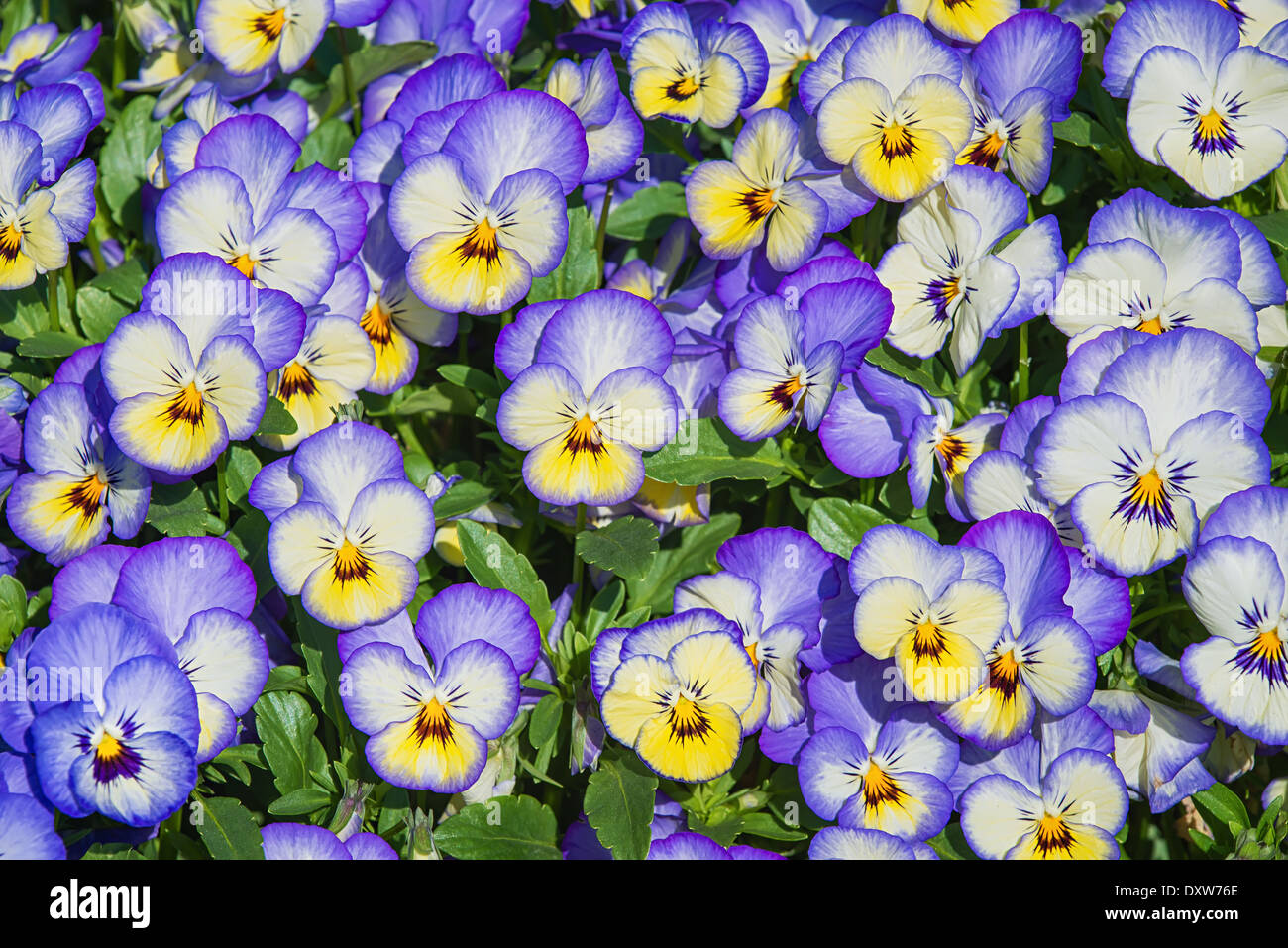 Viola Blue Yellow Stock Photos Viola Blue Yellow Stock Images Alamy