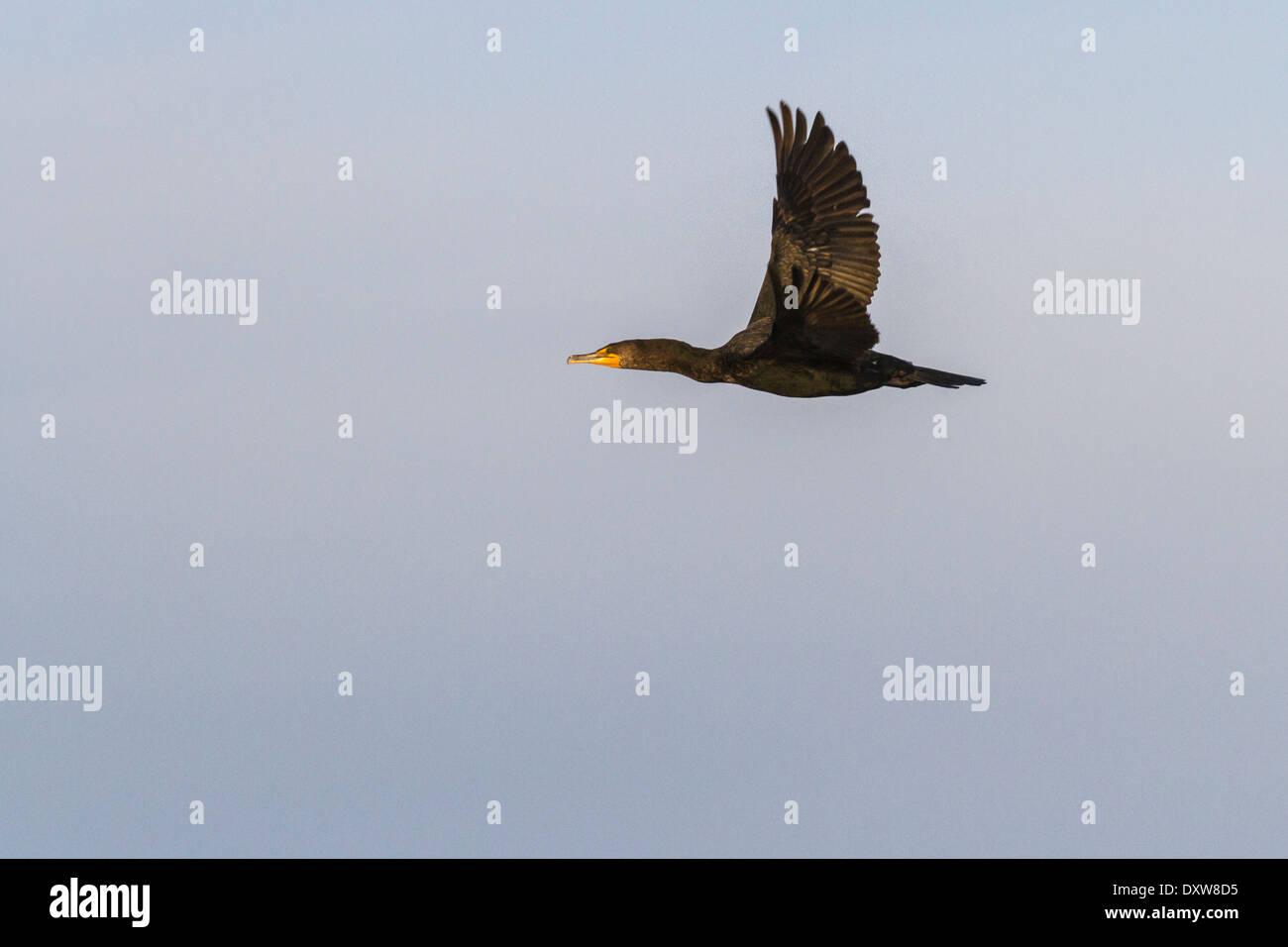 Double-crested Cormorant in flight at Port Aransas, Texas. - Stock Image