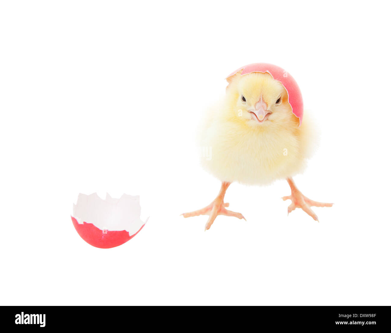 A chick hatching out of a pink Easter egg. Shot on white background. - Stock Image