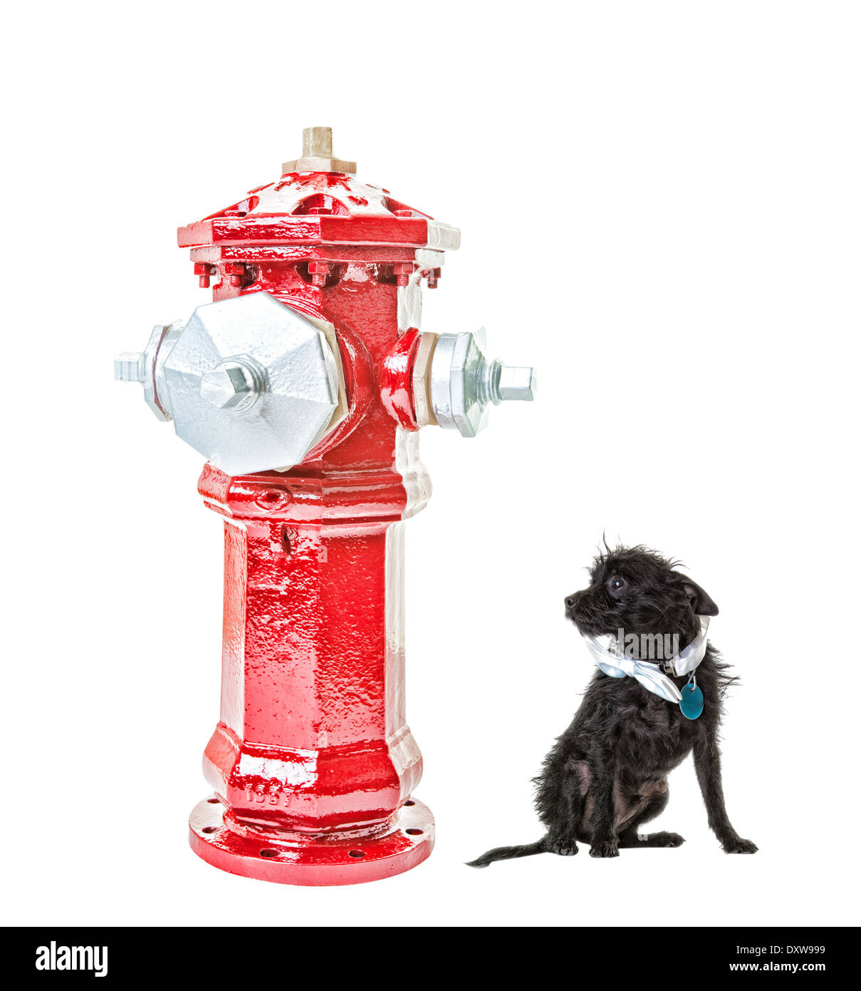 A very small dog intimidated by a very big fire hydrant. Isolated. Hdr. Clipping path for fire hydrant. - Stock Image