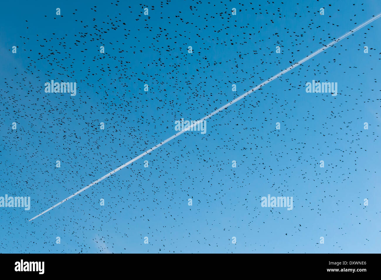 An aircraft contrail high above a flock of starlings - Stock Image