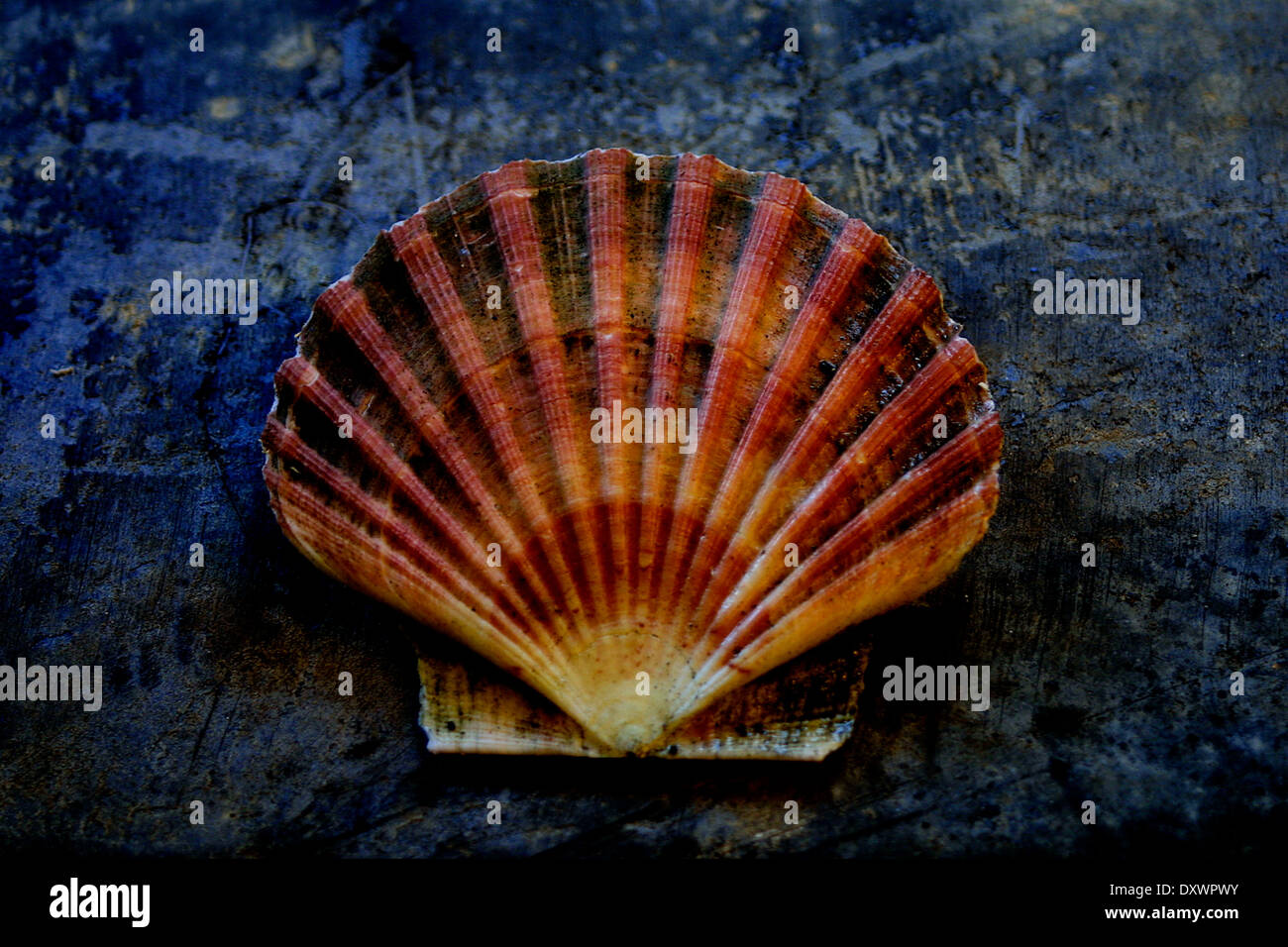 Scallop Shell Symbol Of Saint Jacques Stock Photo 68178935 Alamy