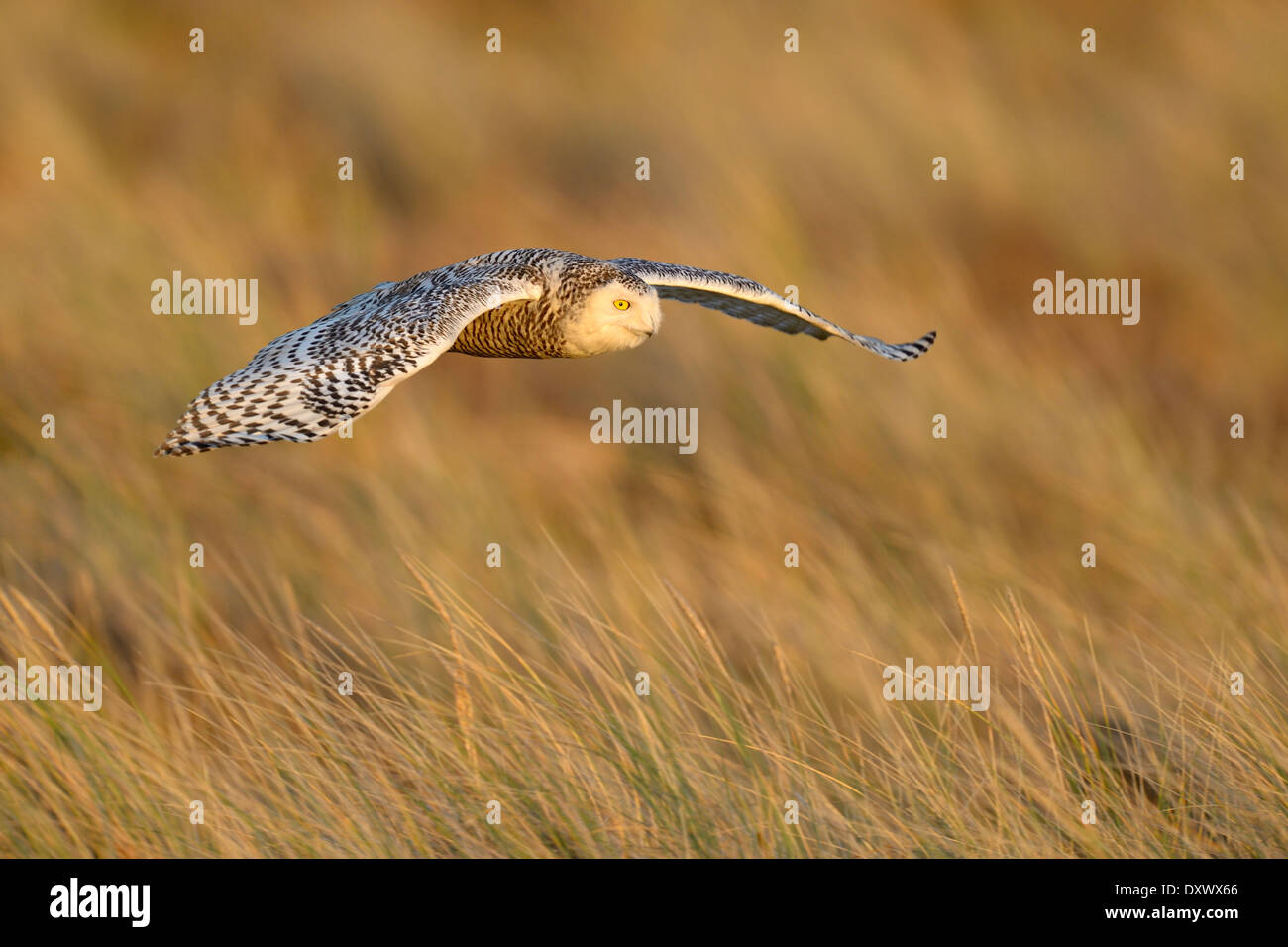 Snowy Owl (Bubo scandiacus), female flying over its winter area, evening light, Vlieland, West Frisian Islands - Stock Image