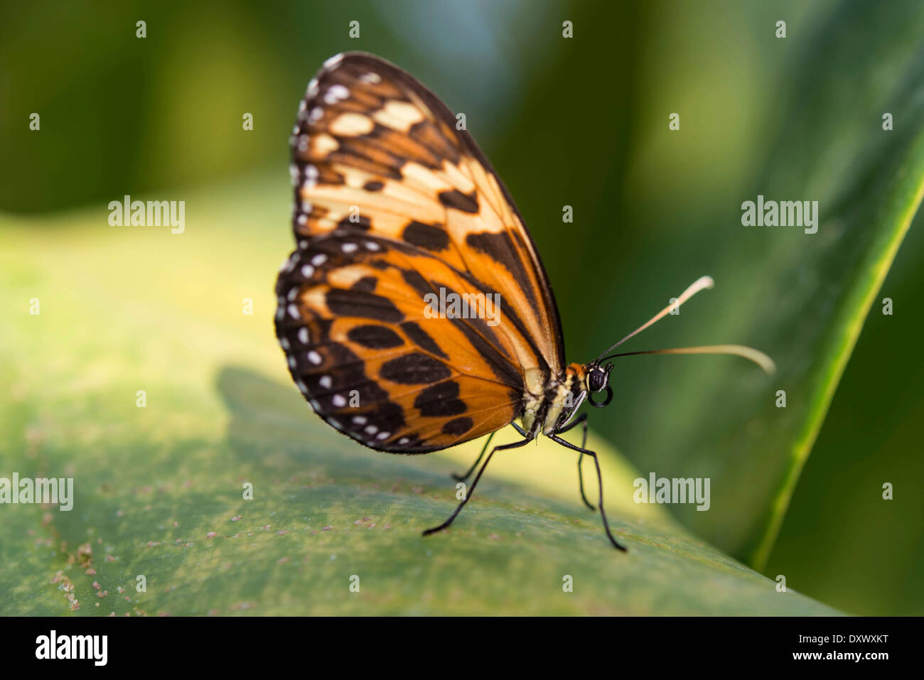 Heliconius xanthocles butterfly, sitting on leaf, captive, Munich - Stock Image