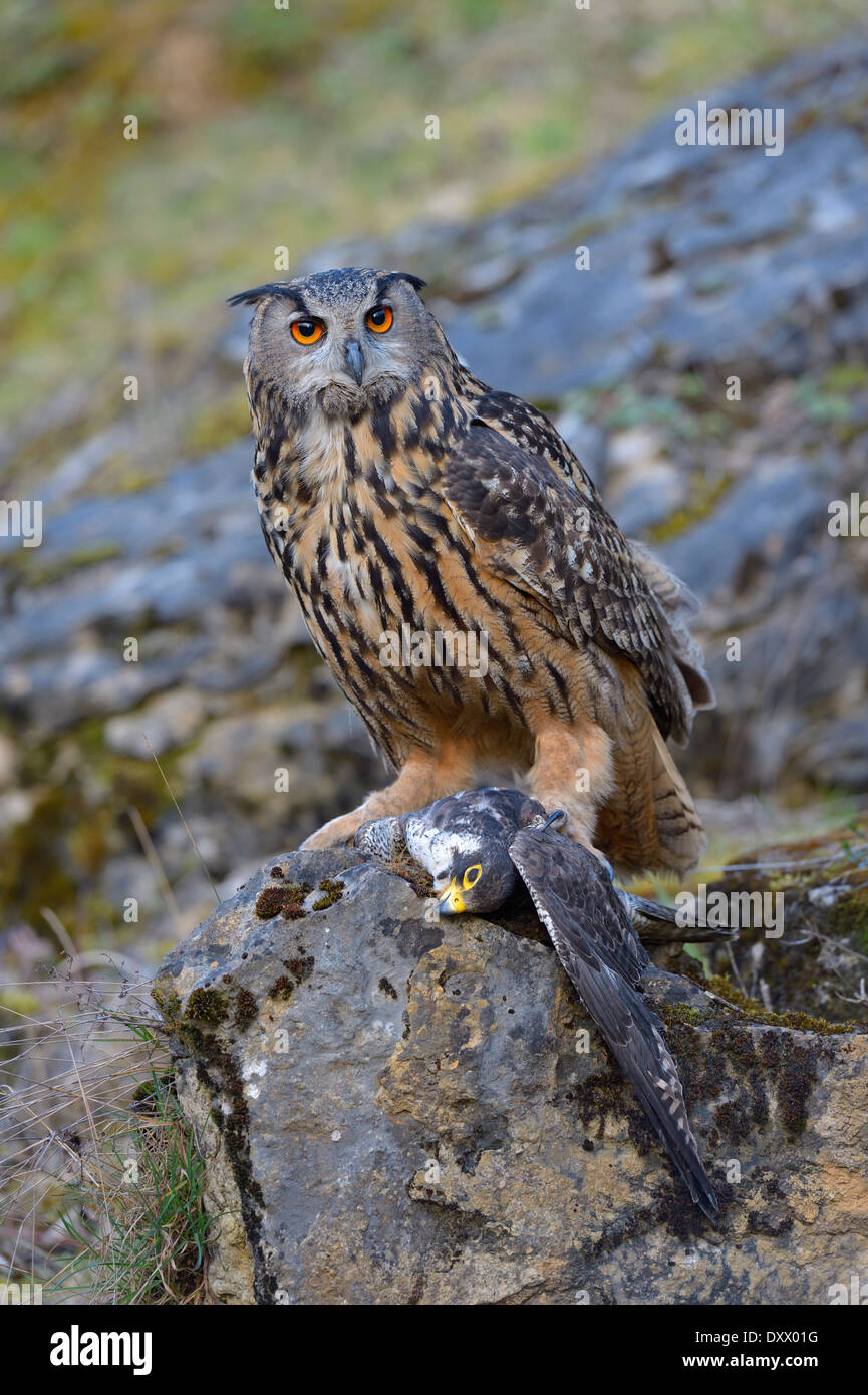 https://c8.alamy.com/comp/DXX01G/eurasian-eagle-owl-bubo-bubo-female-at-its-feeding-place-with-a-captured-DXX01G.jpg?fbclid=IwAR1crQZtBjZWAIYpblS1ozAfuhd6TmzoR1yqF2aLHfKAIDD3WFguLM_FRc8