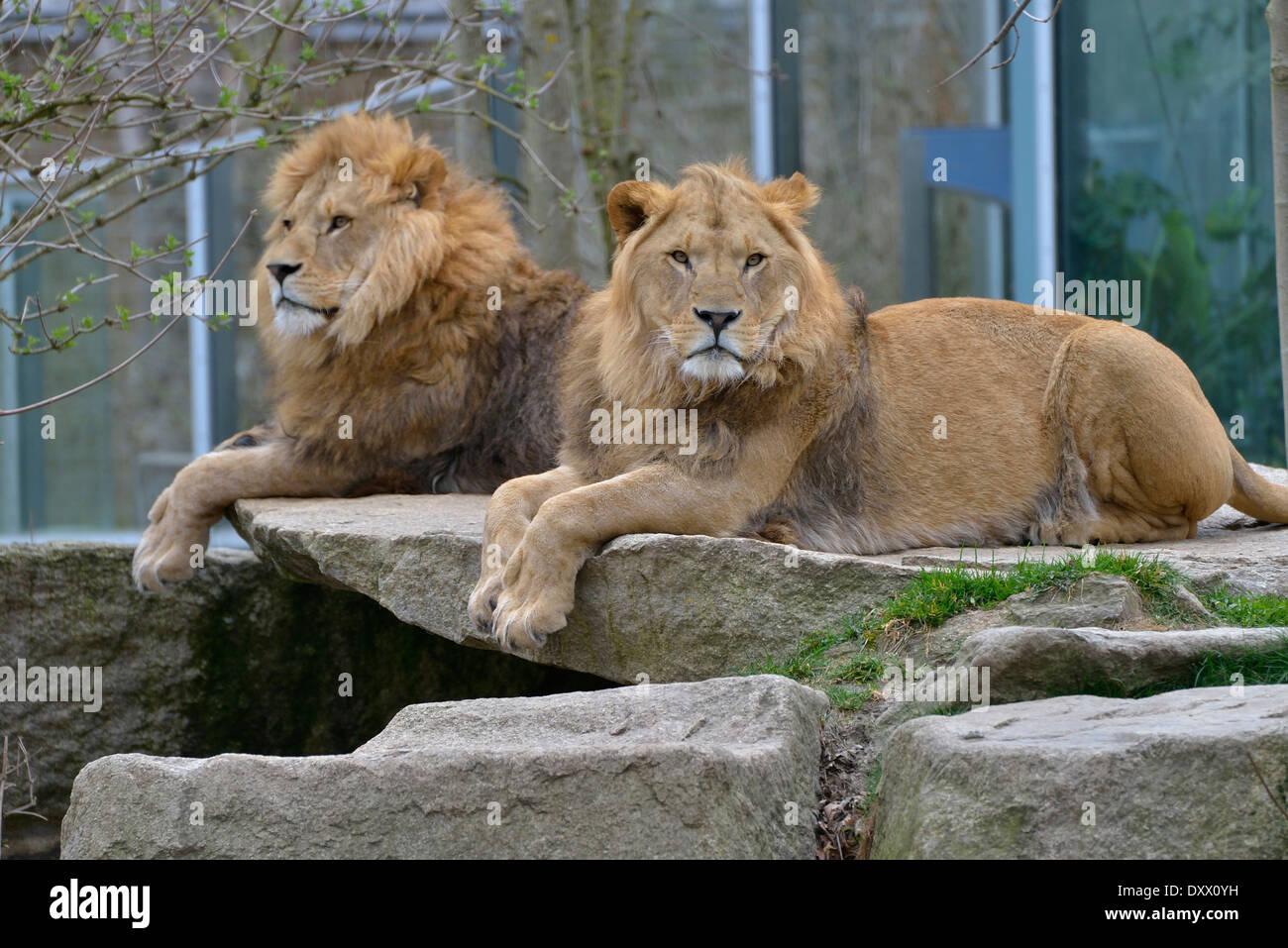 Two Lions (Panthera leo), males, captive, Hellabrunn Zoo, Munich, Bavaria, Germany - Stock Image