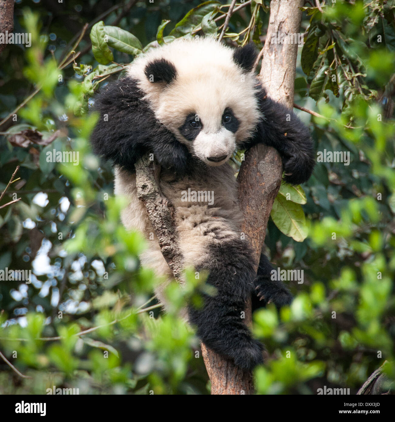 A giant panda perched in a tree China - Stock Image