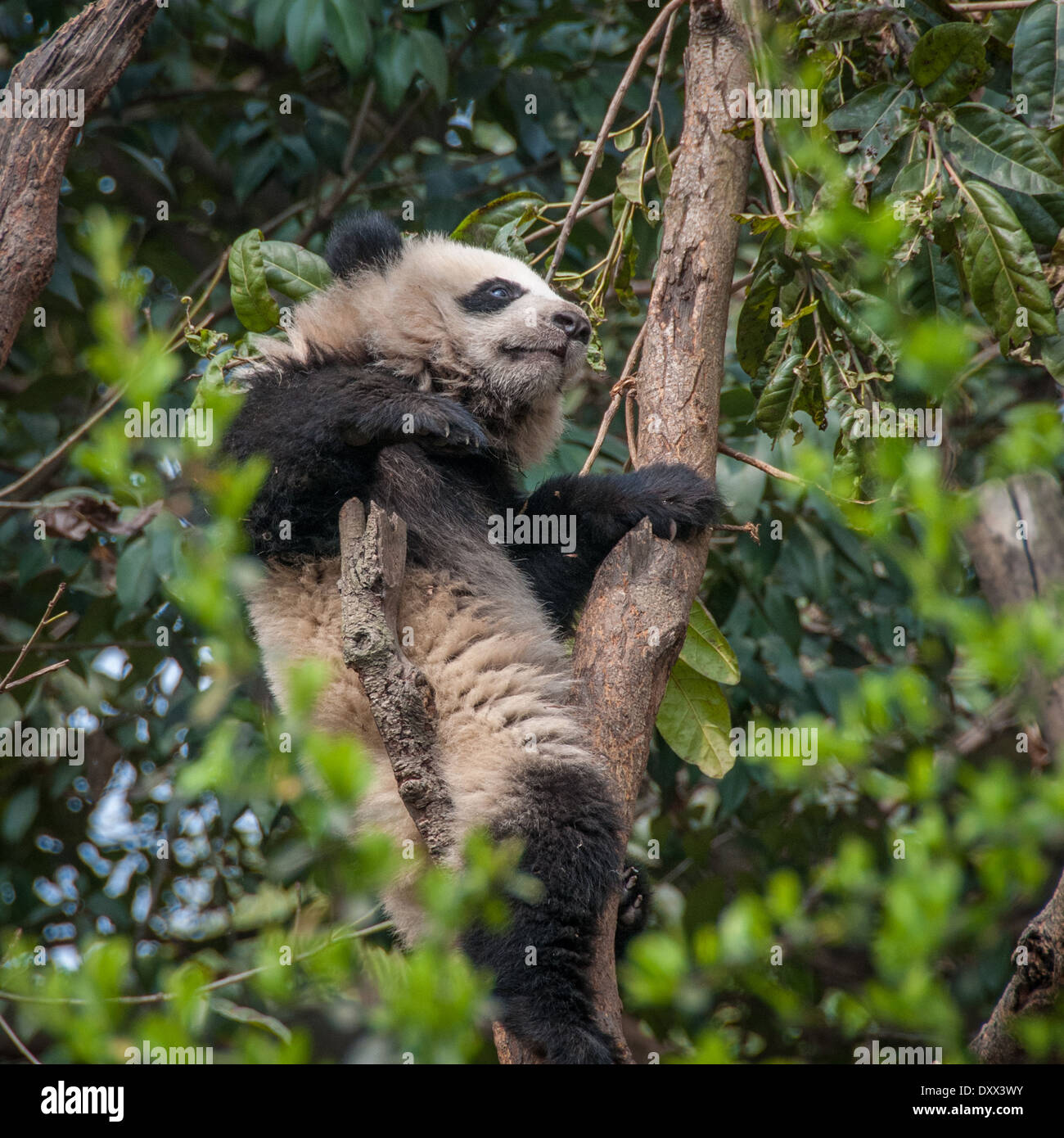 Giant panda wedged between branches in a tree - Stock Image