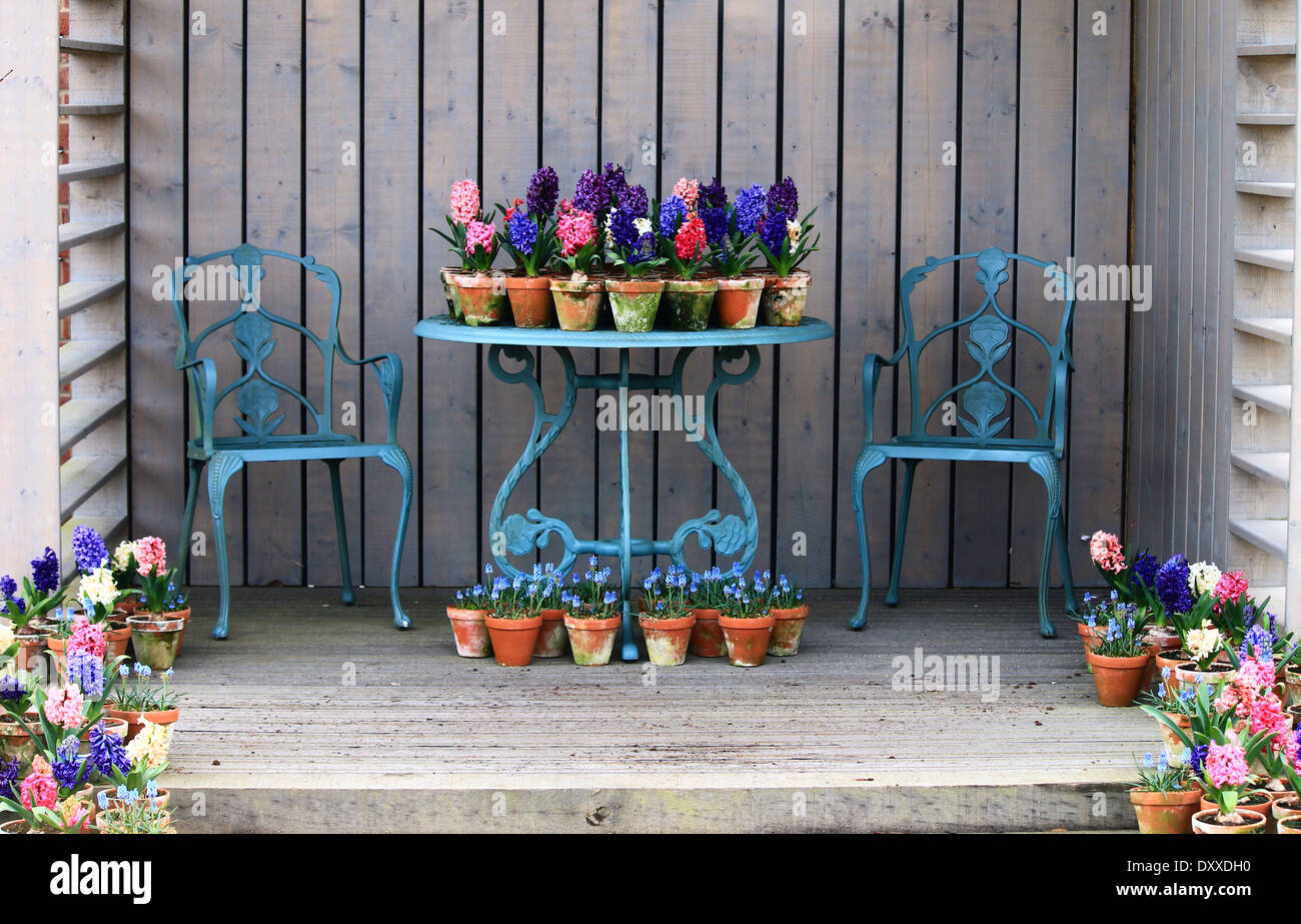 A beautiful display of hyacinths in terracotta pots on a shabby chic wrought iron table and chairs. - Stock Image