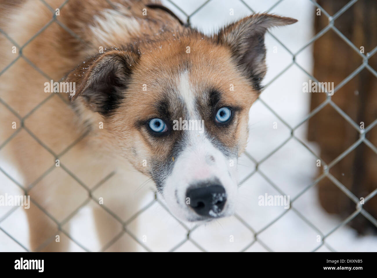 A husky dog with blue eyes poking its head through a wire kennel looking at the camera in a cute way, in Lapland Stock Photo