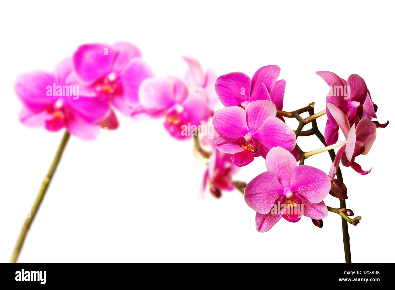 two pink orchids isolated on white background - Stock Image