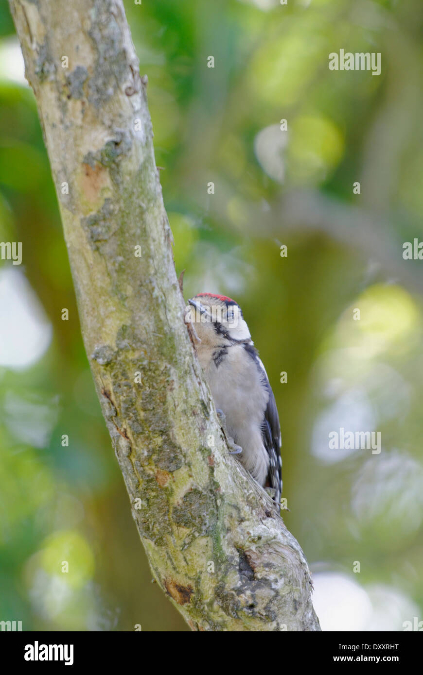 Great spotted woodpecker storing nuts from a feeder - Stock Image