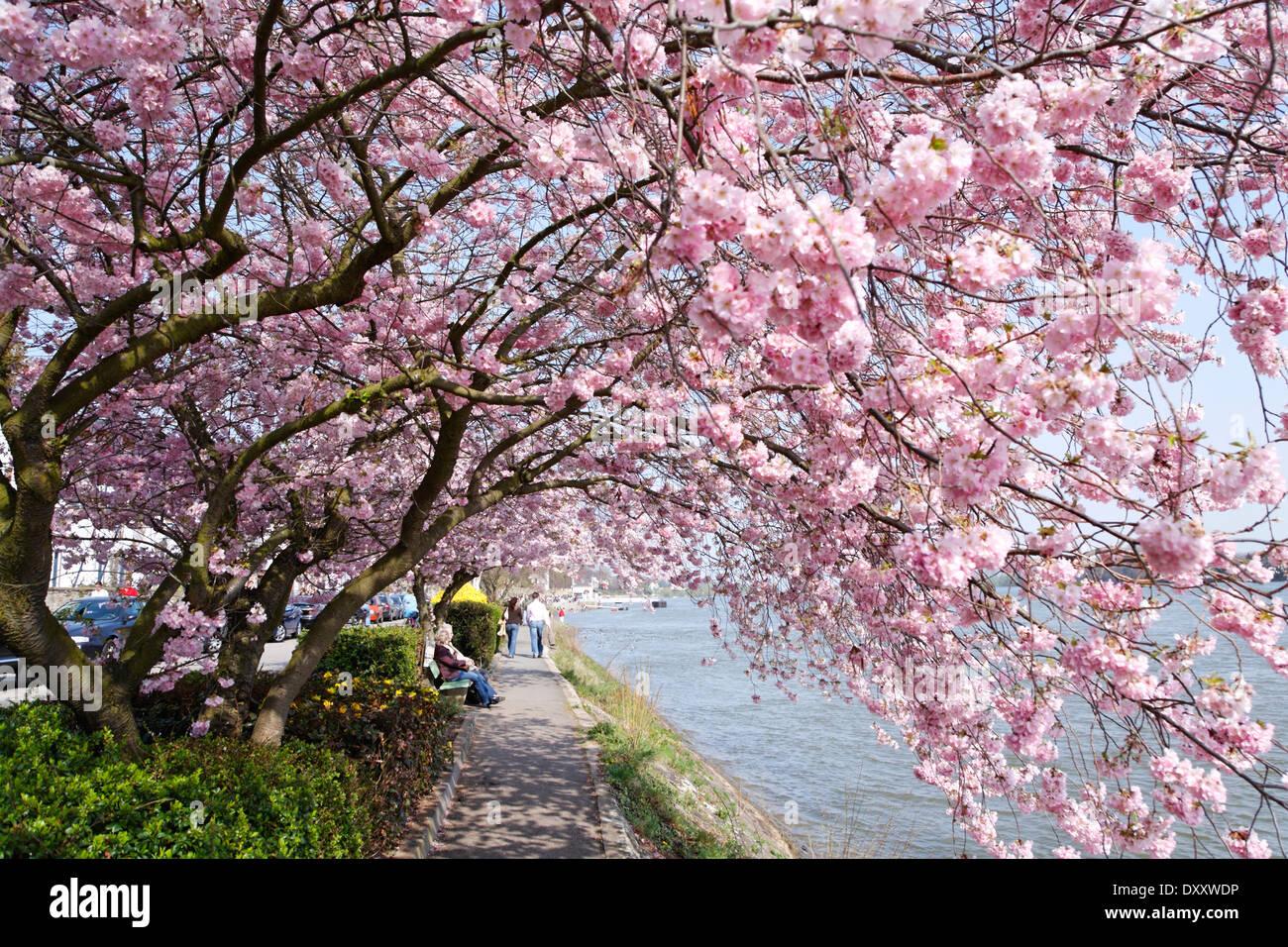 Germany, Hesse, Eltville, Rhine, river promenade, cherry blossom, Hessen, Eltville, Rhein, Flußpromenade, Kirschblüten - Stock Image