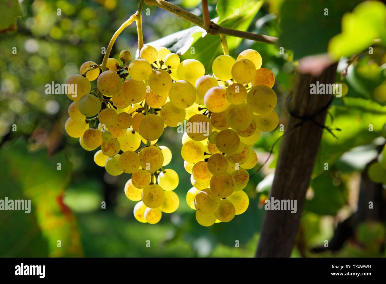 Germany, Baden-Wurttemberg, grapes, white wine, Deutschland, Baden-Württemberg, Weintrauben, Weißwein Stock Photo