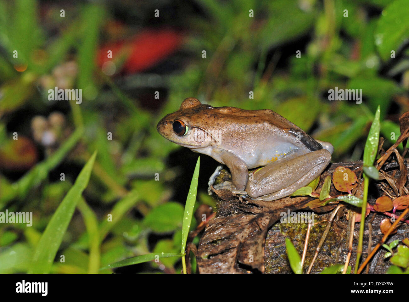 Madagascan tree frog (Boophis madagascariensis). The species is sometimes known as the Madagascan dagger frog. Stock Photo
