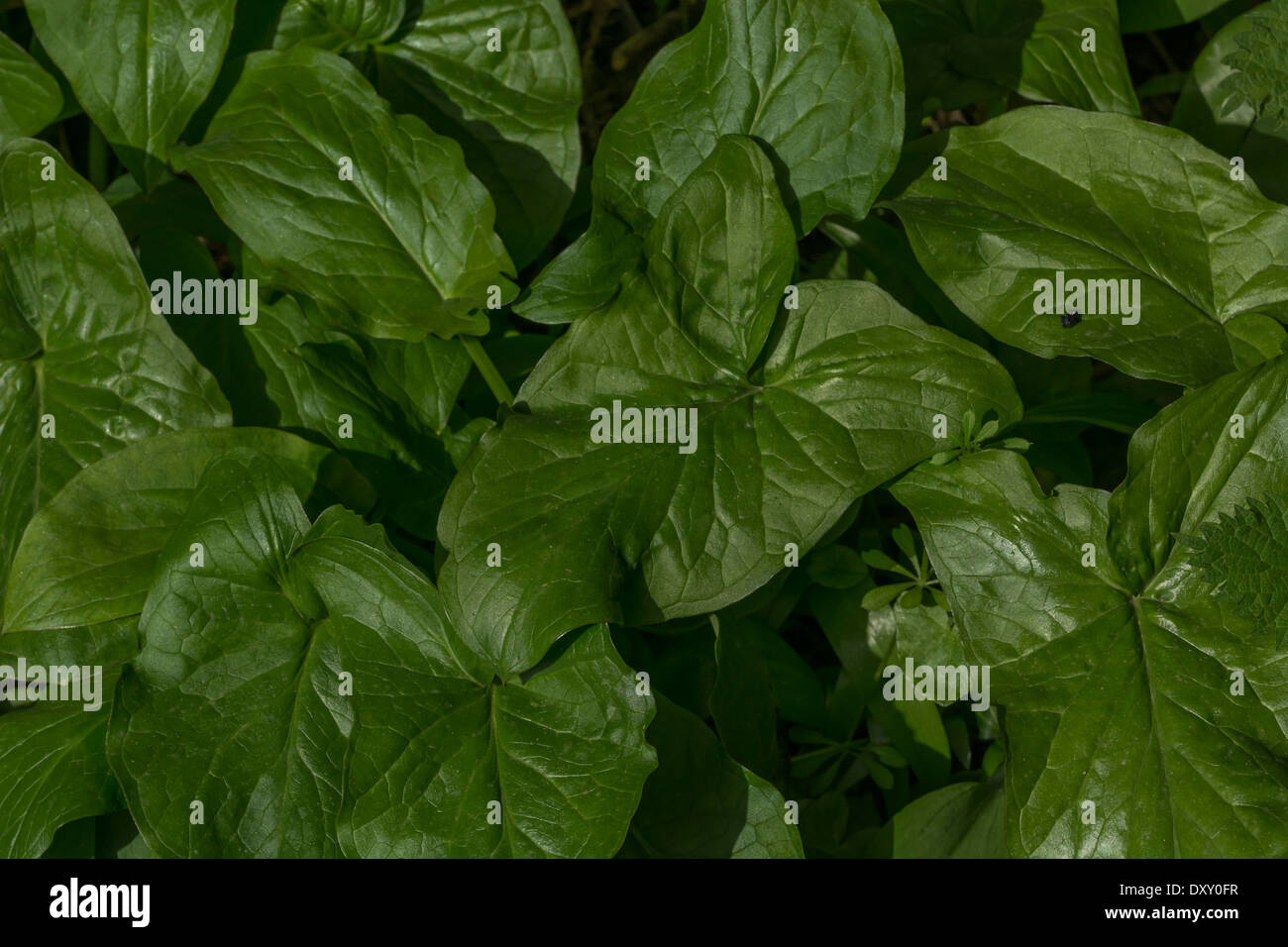Leaf foliage of Arum maculatum / Cuckoo-pint / Lords-and-Ladies - a toxic plant. Called Cuckoo-pint, Lords and Ladies, Wake Robin. - Stock Image