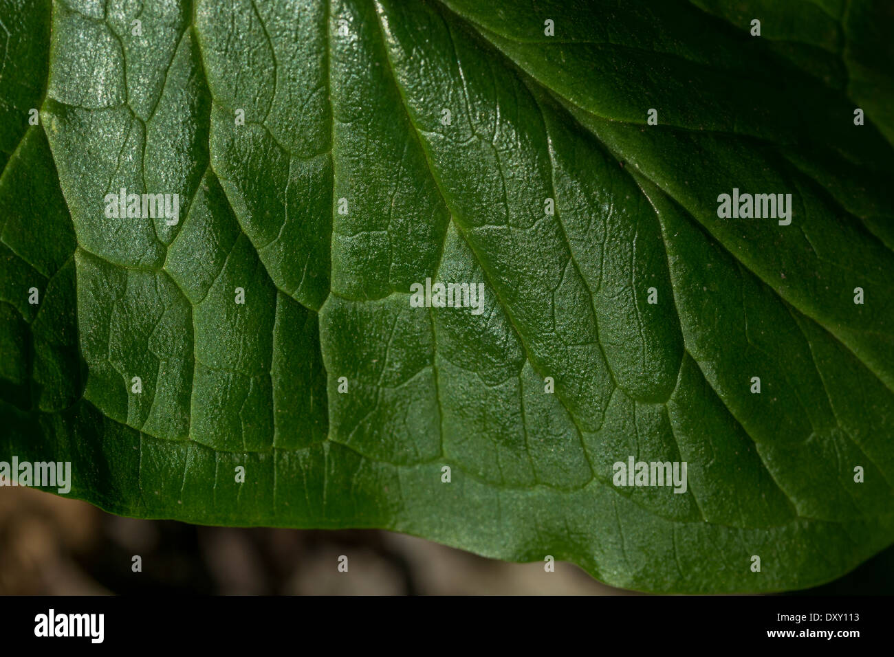 Leaf detail of Arum maculatum / Cuckoo-pint / Lords-and-Ladies - a toxic plant. FOCUS horizontal mid-field.  Called Cuckoo-pint, Lords and Ladies. - Stock Image