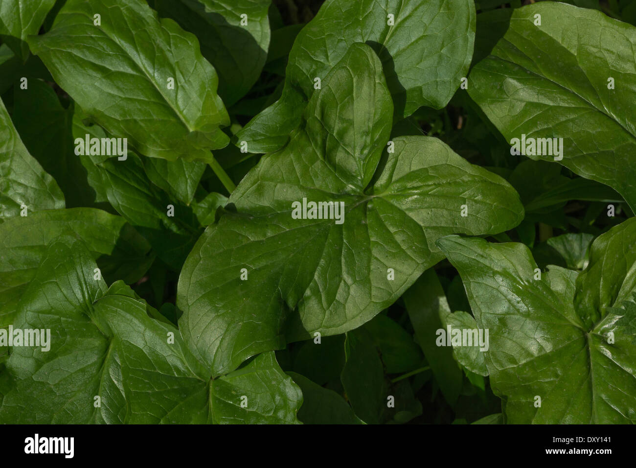 Leaf of Arum maculatum / Cuckoo-pint / Lords-and-Ladies - a toxic plant. Called Cuckoo-pint, Lords and Ladies, Wake Robin. - Stock Image