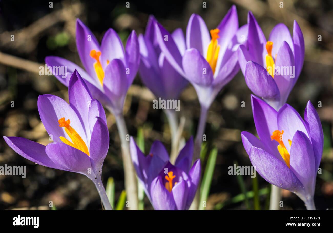 Crocus flowers - Close up view - Stock Image