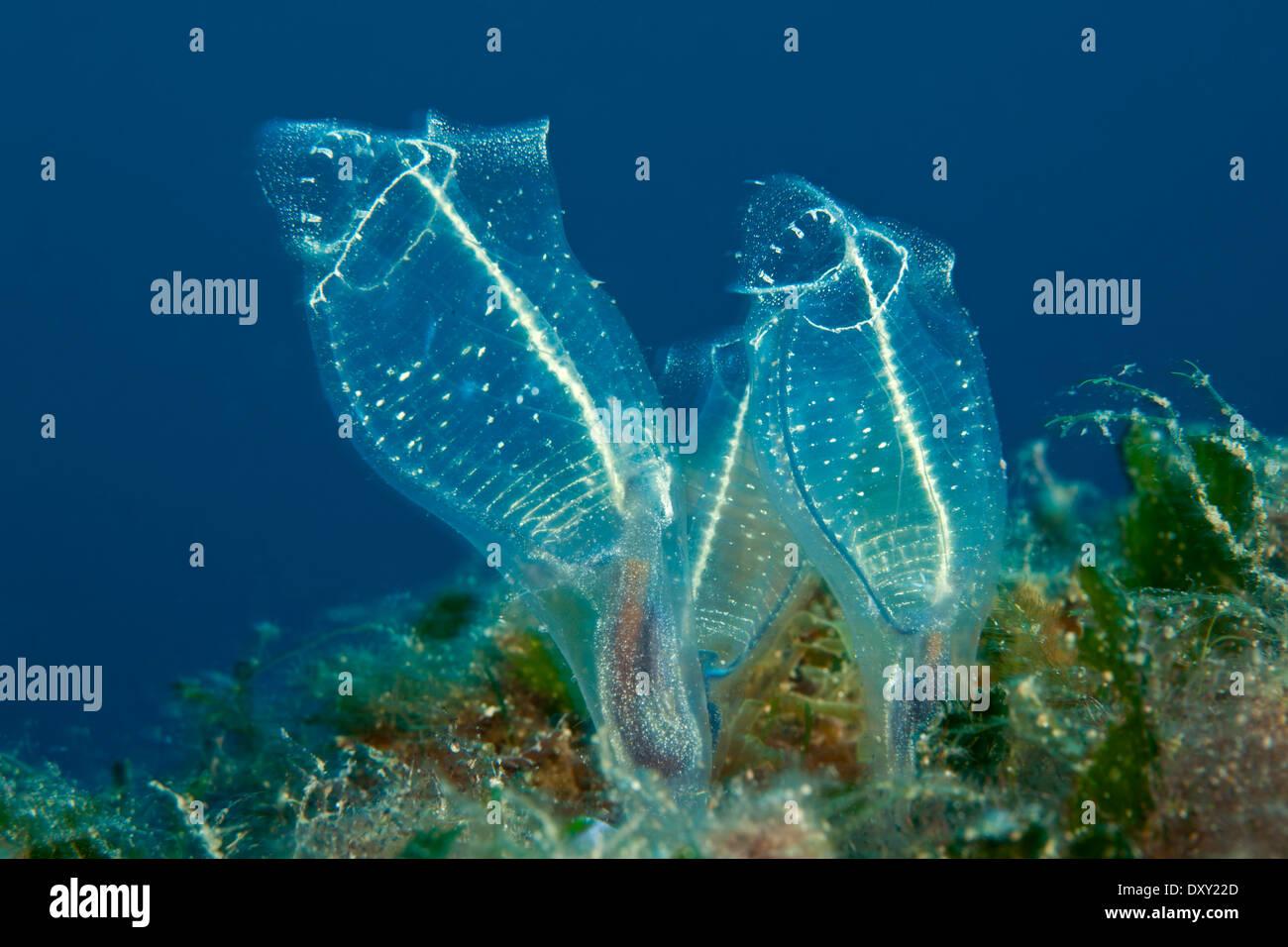 sea squirt feeder fast lesbian sex